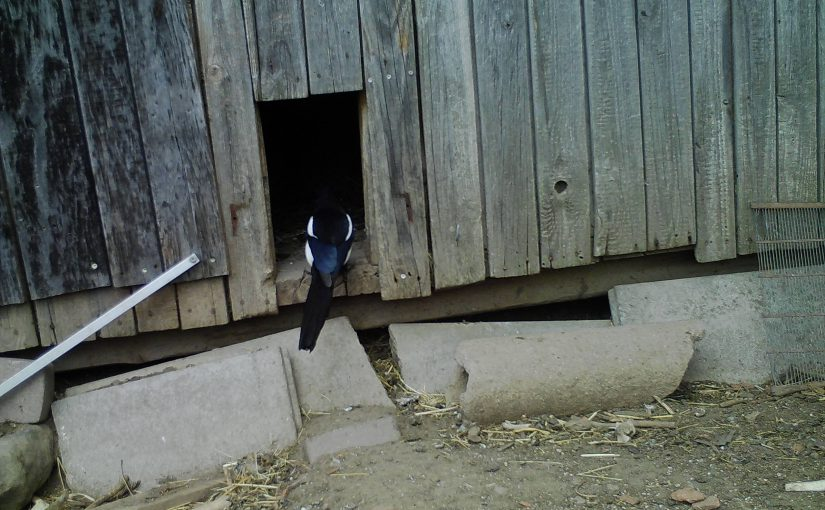 Überführter Eierdieb im Hühnerstall